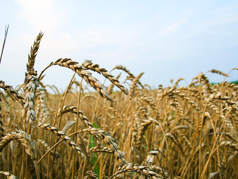 Kardiolog: Pšenica – hronični otrov