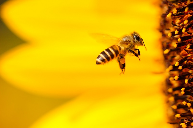 DIVLJE PČELE SU 15 PUTA BRŽE OD DOMAĆIH
