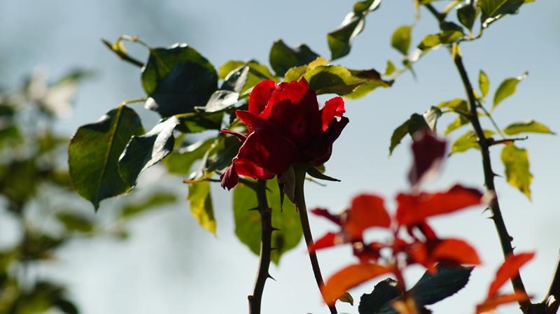 PROIZVOĐAČI RUŽA JAČI OD NEVOLJA